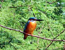 Common Kingfisher one of nine different types of kingfishers found in Nepal