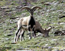 Bharal - Himalayan blue sheep